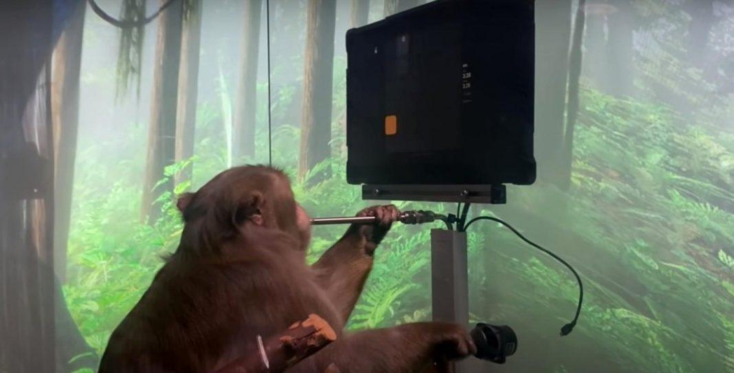 propolski.pl: Eksperyment Muska - małpa grająca w grę